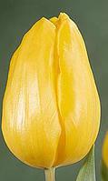 купить тюльпаны опт