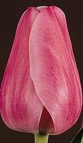 купить оптом тюльпаны